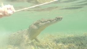 Sea Crocodile saltwater Cuba island Caribbean Sea Video stock footage