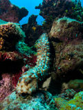 Sea Cucumber Royalty Free Stock Photo