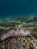 Sea Cucumber. Lying on the sand. Taking in Red Sea, Egypt Royalty Free Stock Photography