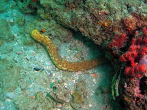Sea Cucumber. This is a tiger tail sea cucumber and was taken about 20 feet in South Florida stock photos