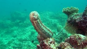 Sea cucumber on background of clear seabed underwater of Maldives. stock video