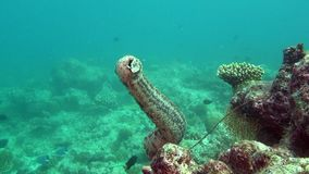 Sea cucumber on background of clear seabed underwater of Maldives. stock footage