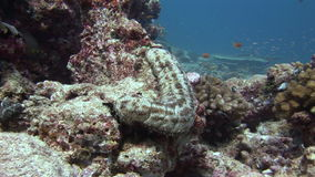 Sea cucumber on background of sandy bottom in clean clear water of Maldives. Swimming in world of colorful beautiful wildlife of corals reefs. Inhabitants in stock footage