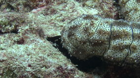 Sea cucumber on background of sandy bottom in clean clear water of Maldives. Swimming in world of colorful beautiful wildlife of corals reefs. Inhabitants in stock video footage