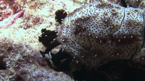 Sea cucumber on background of sandy bottom in clean clear water of Maldives. Swimming in world of colorful beautiful wildlife of corals reefs. Inhabitants in stock video