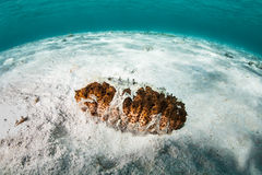 Sea Cucumber in Caribbean Sea Royalty Free Stock Photos