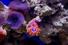 Sea Cucumber (Echinoderm) Stock Photography