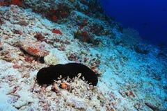 Sea Cucumber Stock Photography