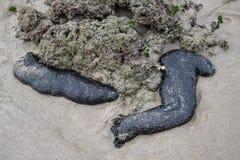 Sea cucumber. Is hidden under the rock in nature sea of  Koh Lanta Krabi Thailand Royalty Free Stock Photo