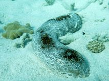 Sea cucumber on sand Royalty Free Stock Image