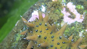 Sea cucumber on seabed in grass looking for food. Amazing, beautiful underwater world Japan Sea and life of its inhabitants, creatures and diving, travels with stock video