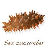 Sea cucumber  solated. Sea cucumber is  on white background Royalty Free Stock Photos