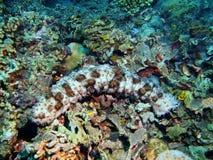 Sea cucumber Stock Photos