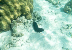 Sea cucumber underwater sea Royalty Free Stock Photography