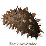 Sea cucumber  Royalty Free Stock Images