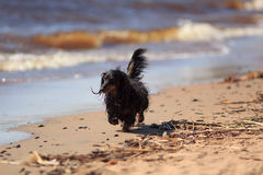 Sea and dachshund Stock Images