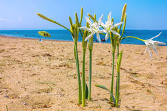Sea daffodil grows on coastal sands. Royalty Free Stock Photography