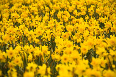 Sea of Daffodils Stock Photography