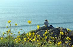 Sea Dahlia, Torrey Pines State Park, San Diego, California. Beautiful yellow sunflower Sea Dahlia are in bloom by the coast of Torrey Pines State Park of San stock photos