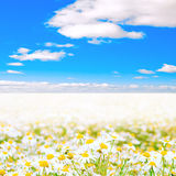 Sea of daisies Royalty Free Stock Photos
