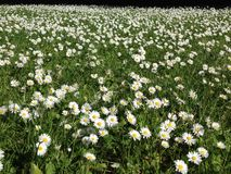 Sea of daisies. Many daisies growing closely together in a meadow in the summer royalty free stock photo