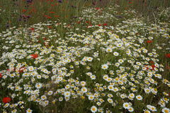Sea of daisies. Many daisies growing together with other wild flowers in a summer field Royalty Free Stock Photo