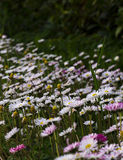 A sea of daisies Royalty Free Stock Photography