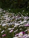 A sea of daisies. Photo of many many daisies Royalty Free Stock Photography