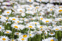 Sea of Daisy. Flowers in a garden royalty free stock image
