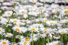 Sea of Daisy Royalty Free Stock Image