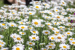 Sea of Daisy. Flowers in a garden royalty free stock photography