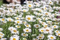 Sea of Daisy Royalty Free Stock Photography