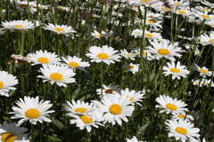 Sea of Daisy Royalty Free Stock Photos
