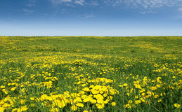 Sea of dandelions Royalty Free Stock Images