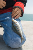 Sea dark blue perch. Stock Images