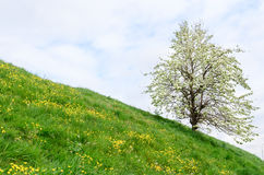 Sea dike in Zeeland with fruit tree and buttercups Stock Photography