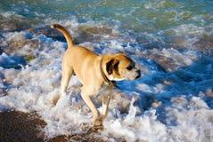 Sea dog Royalty Free Stock Photography