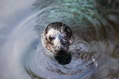 Sea dog Royalty Free Stock Photos