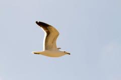 Sea dove in flight Stock Images