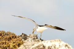 Sea dove in flight Stock Photo