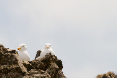 Sea dove on rocks Royalty Free Stock Photos