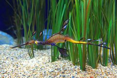 Sea Dragon stock image