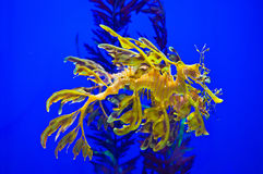 Sea Dragon. Yellow Sea Dragon in its natural environment Royalty Free Stock Image