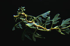 Sea dragon Royalty Free Stock Photos
