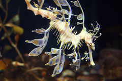Sea Dragon Royalty Free Stock Images