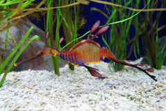 Sea Dragon. Closeup of Sea Dragon - Exotic Fish royalty free stock photography