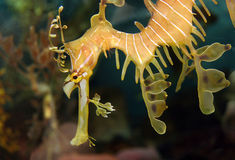 Sea Dragon Close-up Stock Images