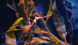 Sea Dragon Stock Photography