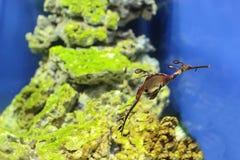 Sea Dragon fish closeup in the aquarium background.  stock image