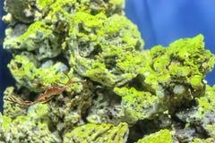 Sea Dragon fish closeup in the aquarium background.  stock photos